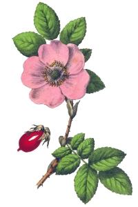 rose-yonge