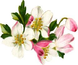 fruit-blossoms