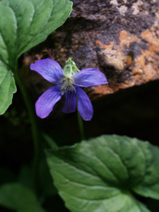 Long-Spurred_Violet