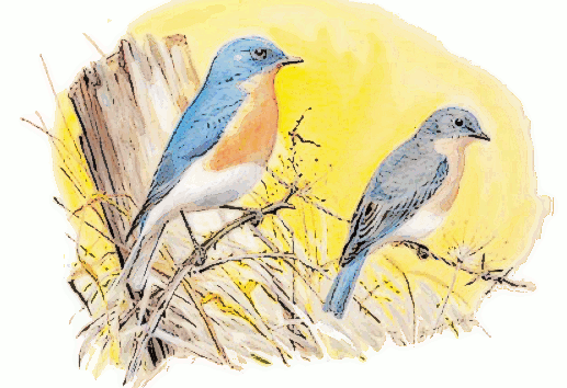 Eastern_Bluebird__Sialia_sialis__songbird
