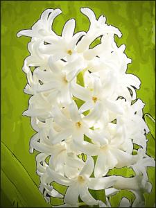 Hyacinth_2