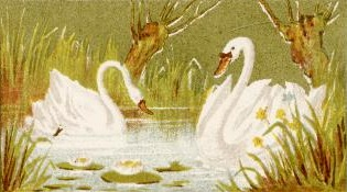 swans-04