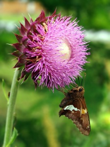 butterfly_on_Nodding_Thistle_Carduus_nutans