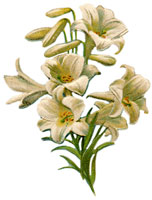 easter-lillies-5