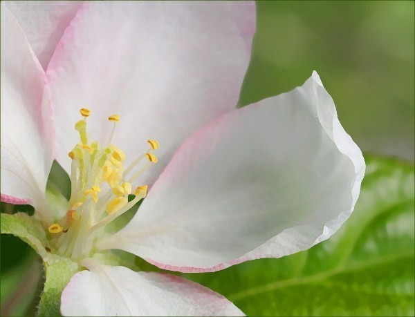 crabapple_blossom_graphic