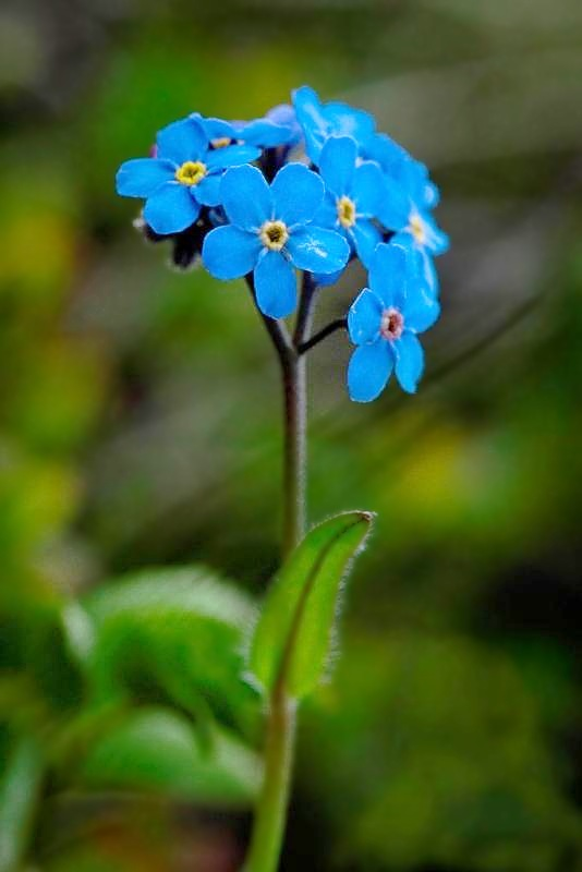 Alpine_Forget-Me_Not