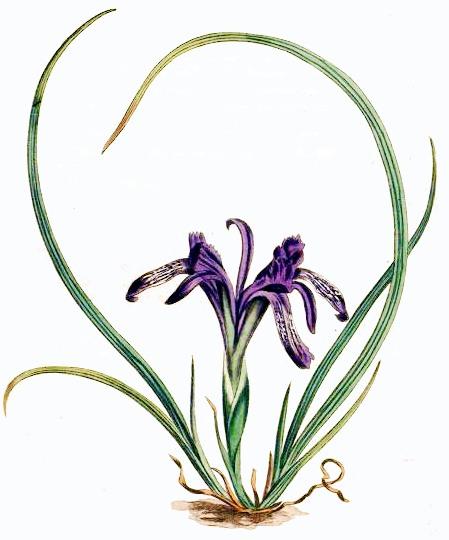 Ever-Blooming_Iris__Iris_ruthenica