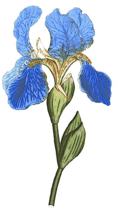 Iris_blue